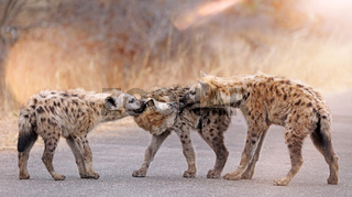 Junge Tüpfelhyänen spielen auf der Straße, Kruger Nationalpark, Südafrica; young hyenas playing on the street, south africa, wildlife, Crocuta crocuta