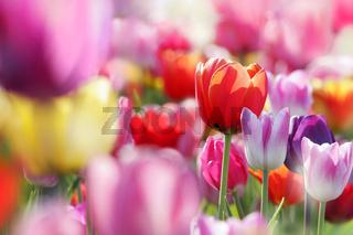 bunte blühende tulpen