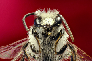Grey Mining Bee on red Background  -  Andrena cineraria (Linnaeus, 1758)