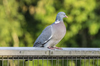 Wood Pigeon on a Fence