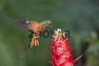 Rotbauchkolibri (Boissonneaua matthewsii), Ecuador