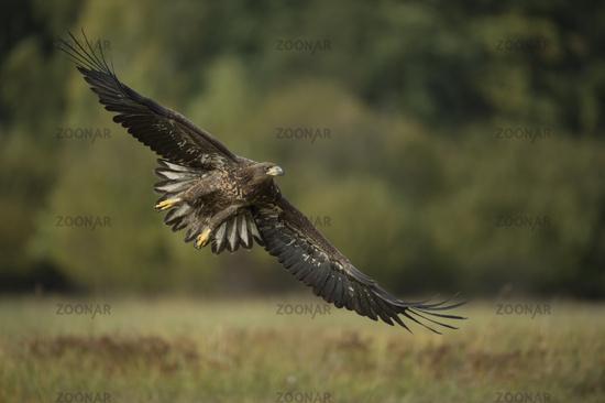 Flügelspannweite... Seeadler *Haliaeetus albicilla*