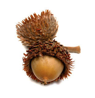Autumn oak acorn on white