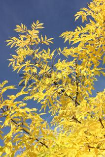 Esche im Herbstlaub