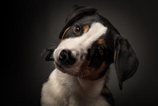 appenzeller sennenhund im portait auf schwarz