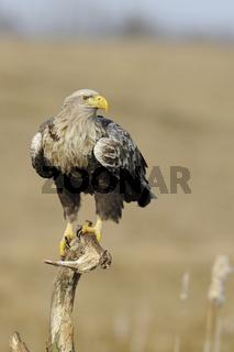 angespannt... Seeadler *Haliaeetus albicilla*