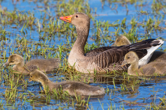 Greylag Goose family swimming in a lake at spring