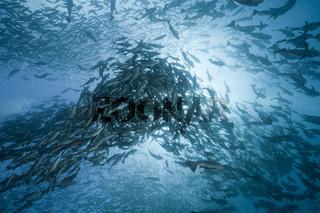 Ruderfische bei Eiablage im Freiwasser, Kyphosus cinerascens, Mikronesien, Rudderfish laying Eggs in Open Water