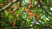 Blüten vom Johannisbrotbaum