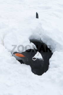 Gentoo penguin looking out of the snow hole after an overnight snow