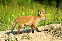 cute young red fox in natural environment ( Vulpes )