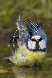 Blaumeise an der Badestelle, Parus caeruleus, Blue tit, bathing