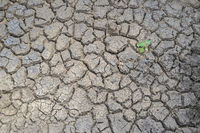 Plant sprouting in dried cracked river bed soil