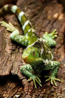 Fijian crested iguana (Brachylophus vitiensis) on Viti Levu Island, Fiji