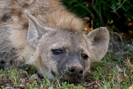 Hyäne, Tüpfelhyäne, Südafrika wildlife