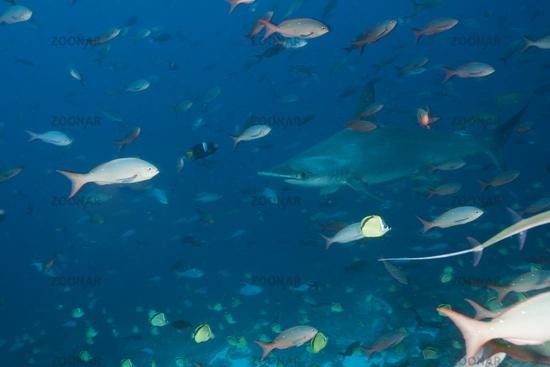Bogenstirn-Hammerhai, Galapagos, Ecuador