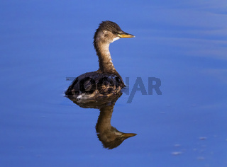 Little grebe, tachybaptus ruficollis, with non-breeding plumage, Neuchatel, Switzerland
