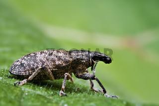 Rüsselkäfer (Curculionidae) - weevil (Curculionidae)