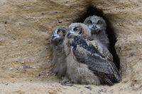 drei Halbwüchsige... Europäischer Uhu *Bubo bubo*, propper Uhu-Nachwuchs im Eingang ihrer Bruthöhle