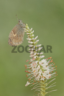 Kleines Wiesenvoegelchen (Coenonympha pamphilus)