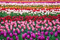 Flower tulips background. Beautiful view of color tulips