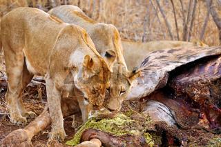 Löwinnen am Kadaver einer getöteten Giraffe, Südafrika - lionesses at a carcass of a dead giraffe, South Africa