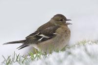 Buchfink - Weibchen / Chaffinch - female / Fringil