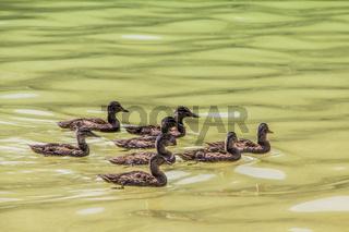 Stockenten (Anas platyrhynchos)  in Formation schwimmend.