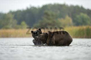 im Schleudergang... Europäischer Braunbär *Ursus arctos*