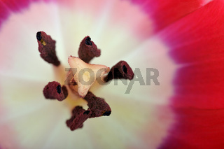 Tulpen (Tulipa spp.)