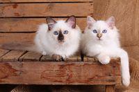 HEILIGE BIRMA KATZE, BIRMAKATZE, SACRED CAT OF BIRMA, BIRMAN CAT, WURF,