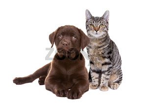 Chocolate Labrador puppy and an european short haired cat