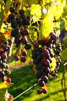 Dunkelrote reife Weintrauben hängen an Weinreben