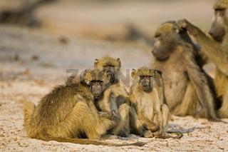Steppenpaviane, Paviane bei der Fellpflege (Papio cynocephalus), Chobe National Park, Botswana, Afrika, Yellow Baboon, Africa