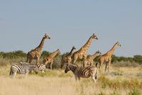 Namibia, Etosha, Giraffen, Zebras