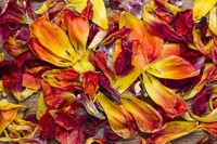 Verstreute Blütenblätter von Tulpen
