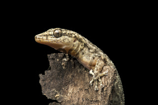 Küsten-Blattfingergecko (Phyllodactylus reissii), Jorupe Naturreserve, Ecuador
