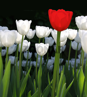 White Tulips with Single Red One