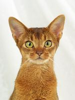 ABESSINIER, ABYSSINIAN CAT, ABY, ABYSSIN, WILDFARBEN, RUDDY, WILDLOOKING, PORTRAIT,