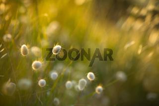 Hare's or Bunny Tails Grass Lagurus Ovatus