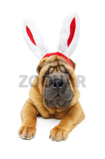 shar pei puppy in xmas bunny ears headband