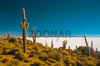 Large cactuses in Bolivia