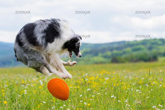 Border Collie mit Frisbee