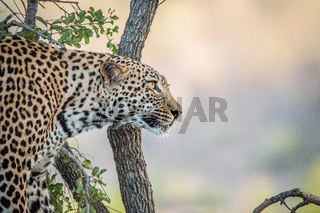 Side profile of a Leopard.