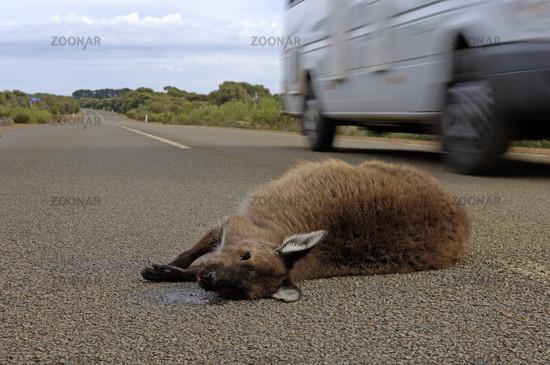 überfahrenes Kanngaroo Island Kangaroo, Macropus fulliginosus fulliginosus