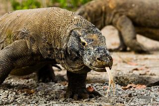 Komodo Dragons Search Food