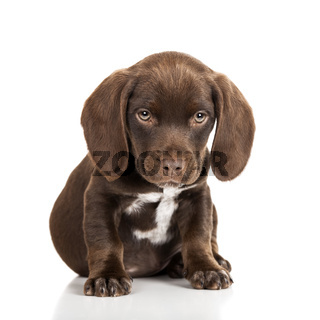 Brown puppy