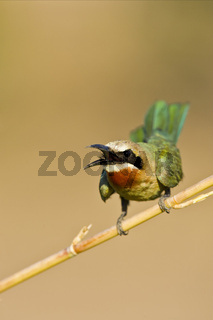 Weissstirn Spint, Bienenfresser (Merops bullockoides), Chobe National Park, Botswana, Afrika, White-fronted Bee-eater, Africa