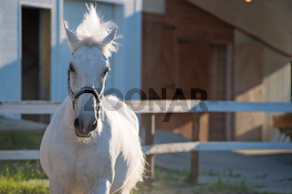 running Lipizzaner horse at stable  background