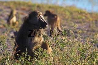 Baboon im Susuwe Nationalpark, Namibia